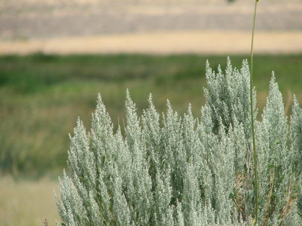 Sagebrush_blooms