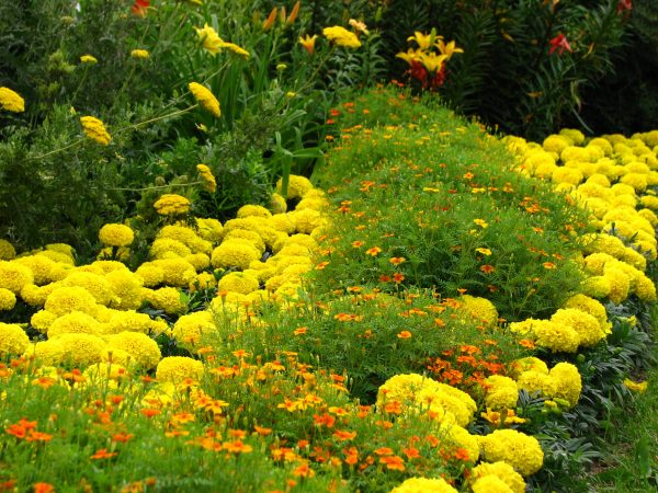 Tagetes_in_flowerbed_border_01