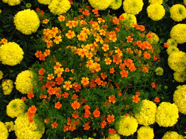 Tagetes_in_flowerbed_border_03