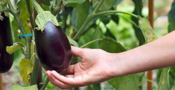 eggplants-main-780x400