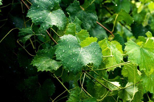 vinogradnye-listya-10