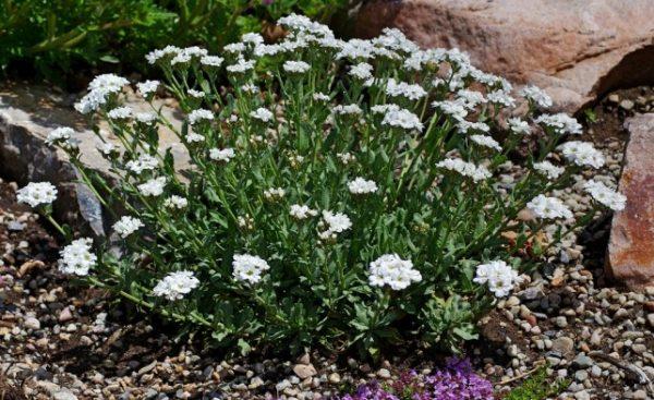 Achillea-ageratifolia-642x393