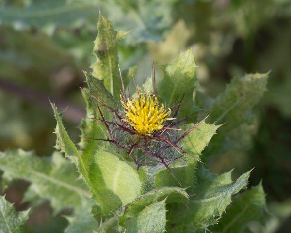 Centaurea_benedicta_-_Jardin_des_Plantes