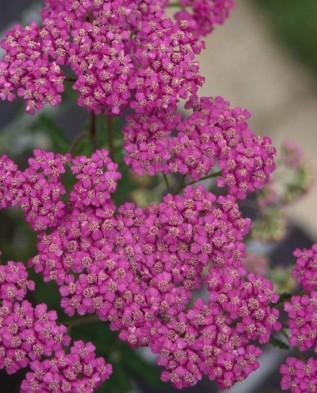 Lilac-Beauty-317x393