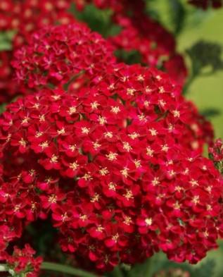 Red-Velvet-317x393