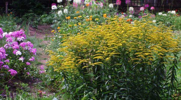 Zolotarnik-v-tsvetnike-v-avguste