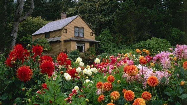 dahlia-garden-next-to-the-house