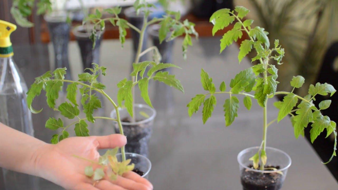 Картинки по запросу Почему засыхают кончики листьев у рассады томатов? Что делать в этом случае?