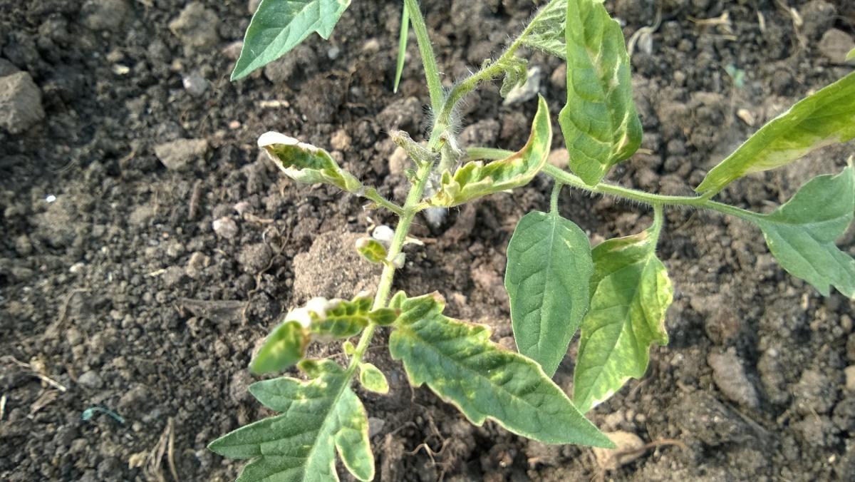 почему желтеют кончики листьев у рассады томатов