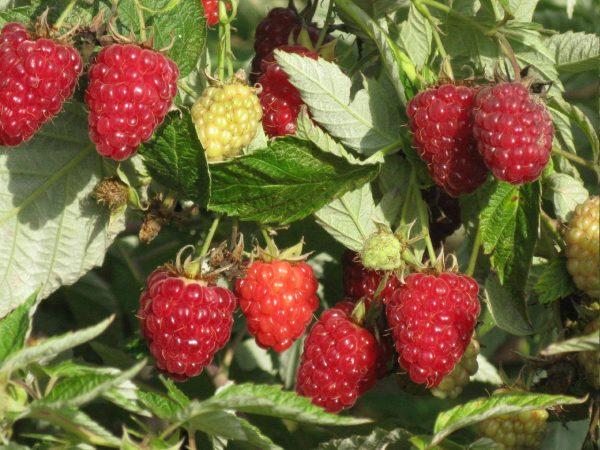 Выращивание малины из семян: так ли это сложно? Советы — как посадить малину без ошибок