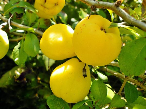 Ajva-poleznye-svojstva-i-vred-plodov