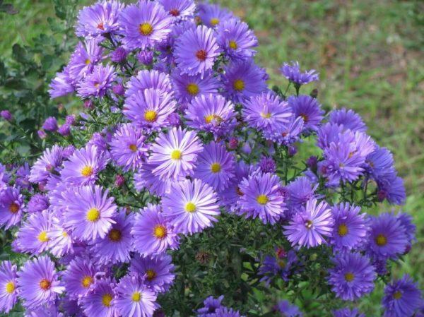 Многолетние астры – лучшие сорта очаровательных цветов, или Как украсить сад многолетними астрами?