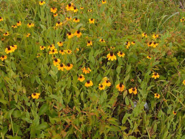 Rudbeckia-amplexicaulis