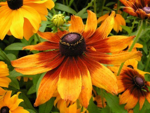 Rudbeckia-bicolor-768x576
