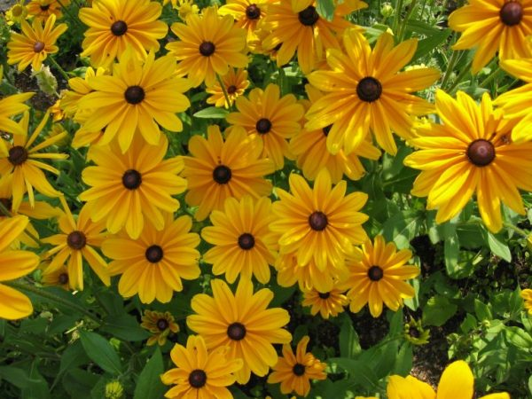 Rudbeckia-hirta-Prairie-Sun-768x576