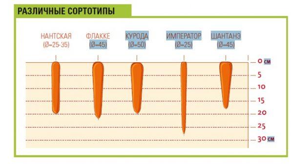 Tehnologiya-vyrashhivaniya-morkovi-razlichnye-tipy-sortov