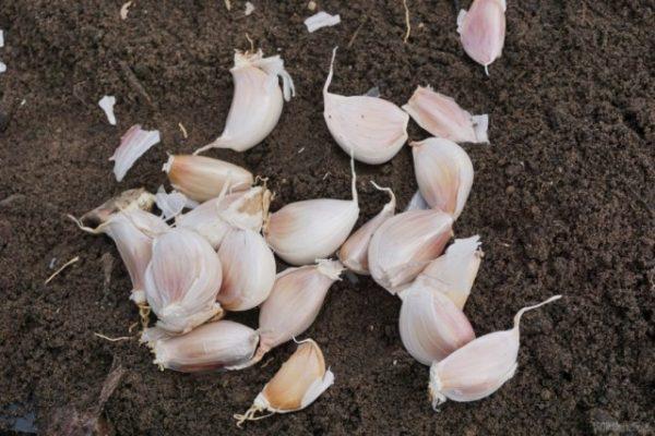 Секреты посадки чеснока под зиму. Как садить чеснок зубками?