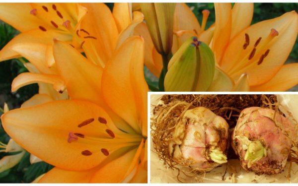 Как пересаживать лилии осенью? Секреты посадки лилий осенью от профессионала