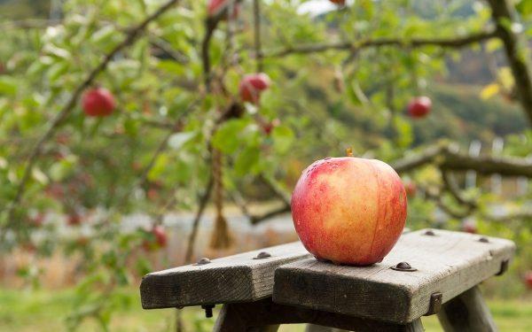 Как ухаживать за плодовыми деревьями осенью? Полезные советы дачнику
