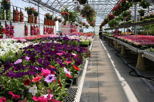 vyrashhivanie-cvetov-v-teplice