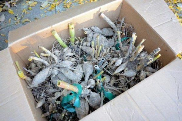 Как правильно хранить клубнелуковичные в зимнее время: все секреты!