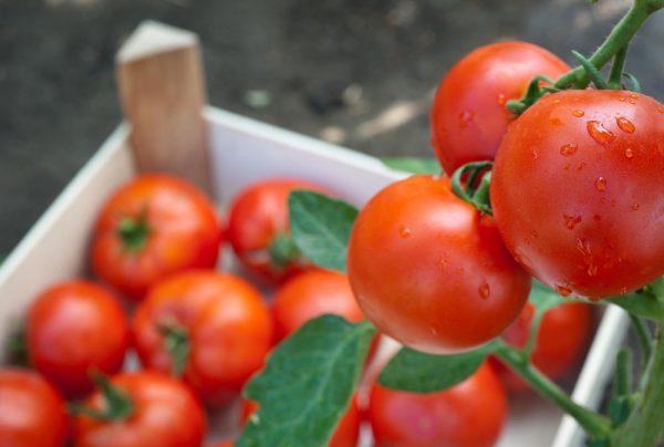 sohranyaem-nadolgo-tomaty-svezhimi-chto-nuzhno-delat-chtoby-tomaty-byli-vsegda-svezhimi-8
