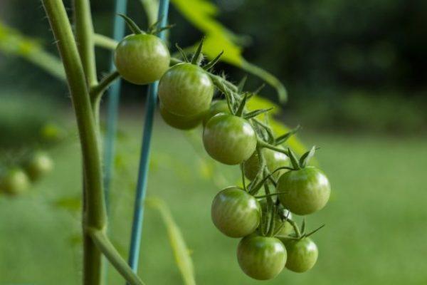 ekzoticheskie-cherri-zelenoplodnye-krasavtsy-u-nas-v-ogorode-vkusno-ili-bespolezno-1