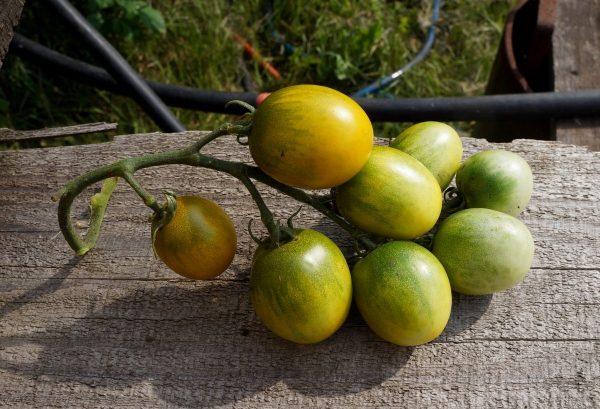 ekzoticheskie-cherri-zelenoplodnye-krasavtsy-u-nas-v-ogorode-vkusno-ili-bespolezno-8