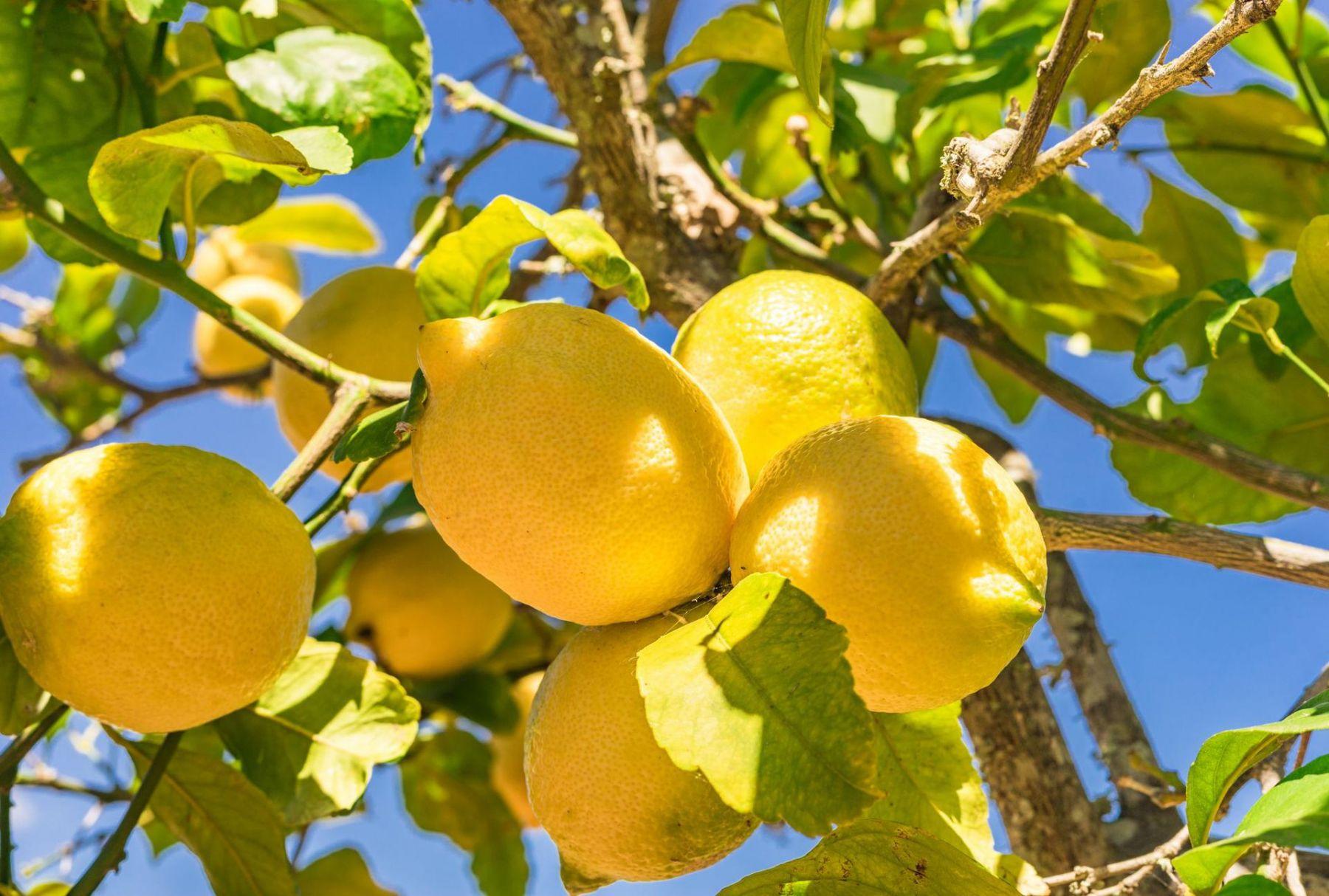 Картинки по запросу Домашний лимон — украшение вашего дома