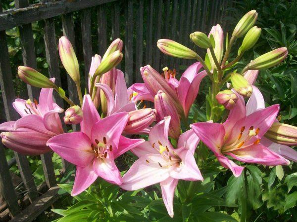 lilii-1