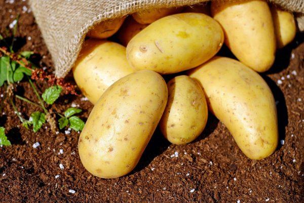 posadka-kartofelia-1