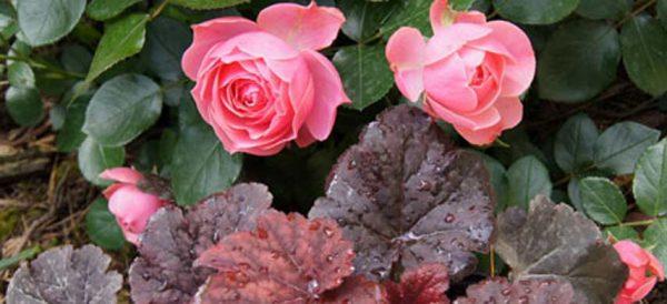 rozy-i-gejhery