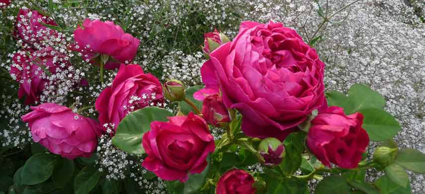 rozy-i-gipsofila