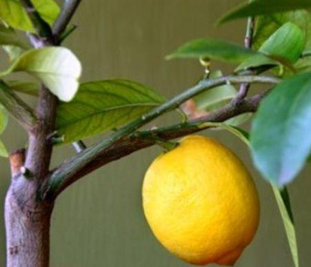 krona-i-obrezka-limona-2