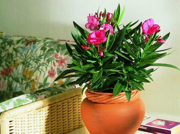 Nerium-oleander-e1526226239972