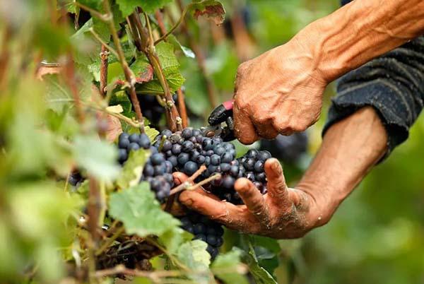 CHto-delat-posle-sbora-urozhaya-vinograda