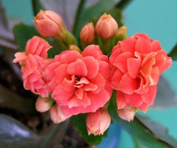 Kalanchoe-blossfeldiana-021