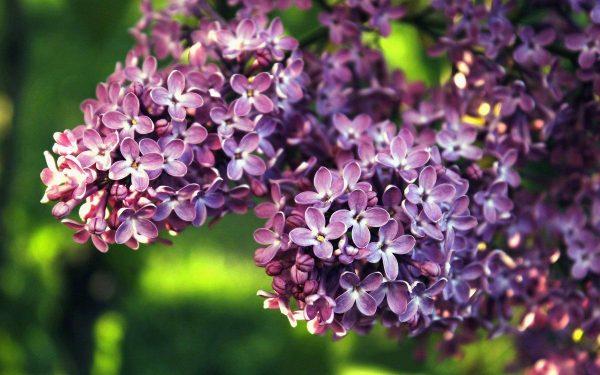 Пышный цвет и пьянящий аромат: изучаем агротехнику сирени