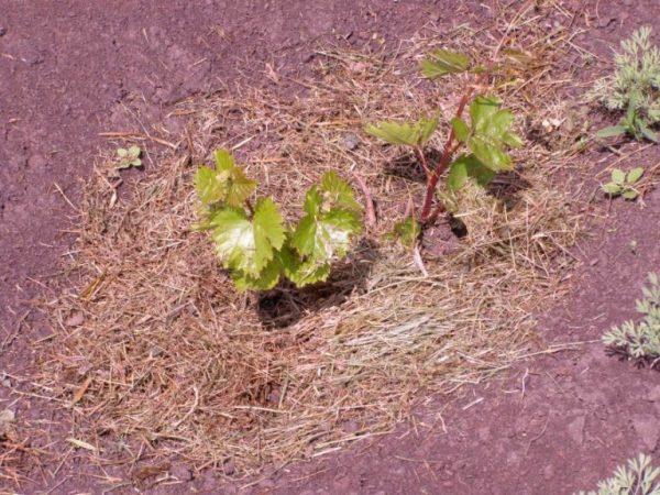kak-uhazhivat-za-vinogradom-vesnoy
