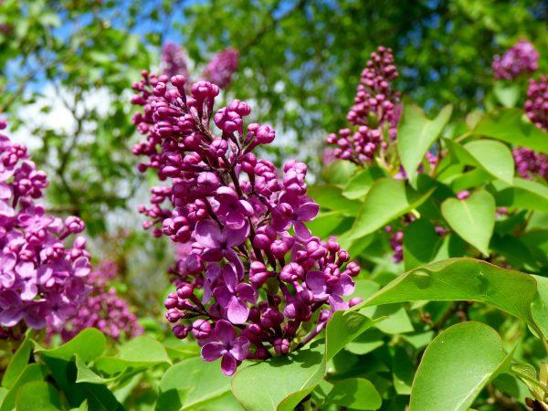 lilacs-492303_1280