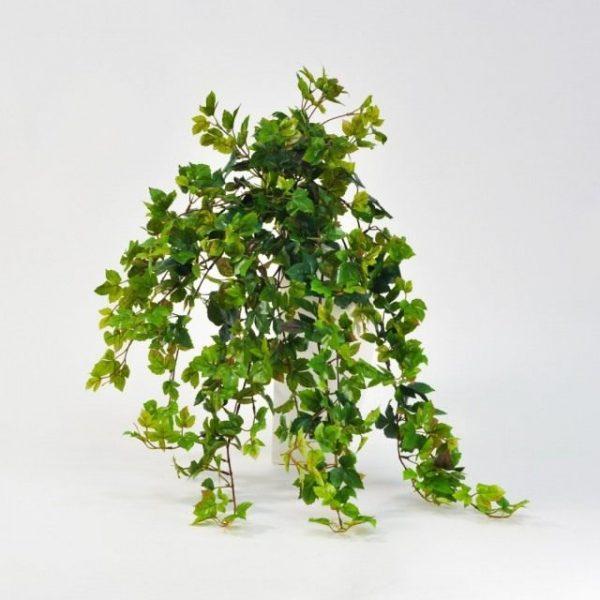 Роициссус – неприхотливая лиана или комнатный виноград. Уход в домашних условиях