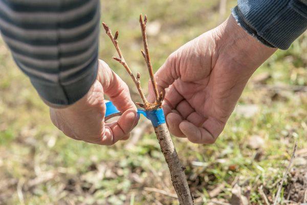 Все о прививках деревьев. Ухаживаем за плодовыми деревьями весной: сроки и способы прививки