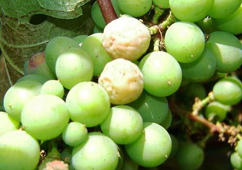 Belaya-gnil-vinograda