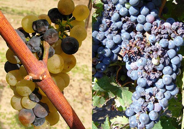 CHernaya-gnil-vinograda