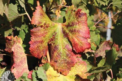 Krasnuha-vinograda
