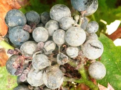 Oidium-vinograda