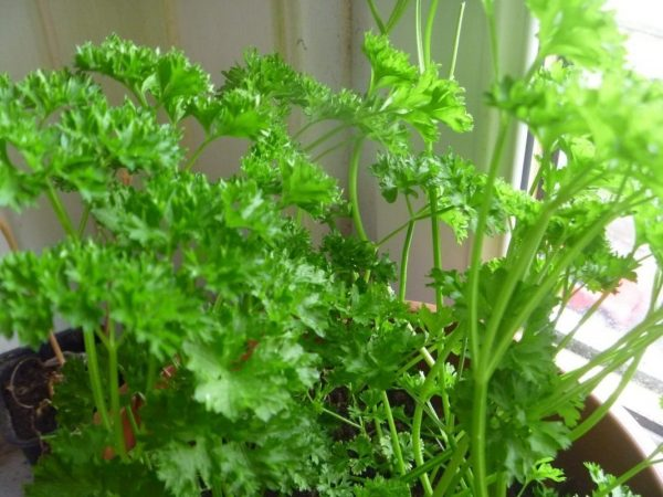 Parsley-windowsill-1