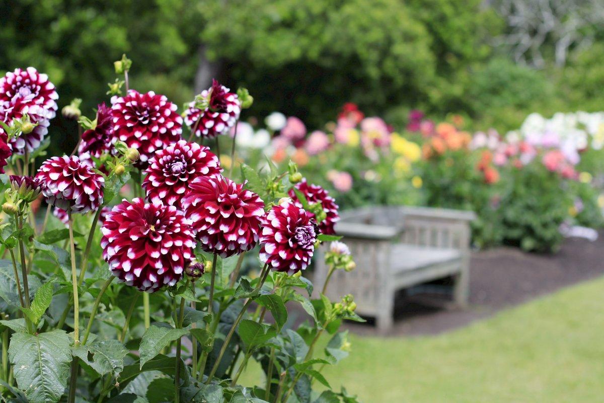 Георгины в саду — описание, классификация, использование. Фото ...