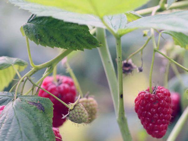 raspberries2b