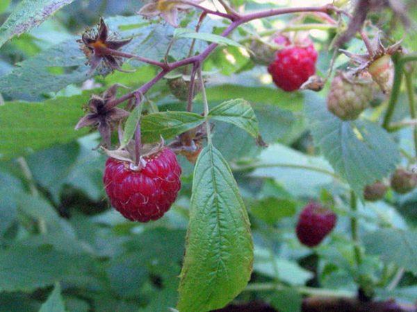 raspberries3a